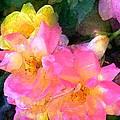 Rose 211 by Pamela Cooper