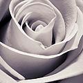 Rose by Adam Romanowicz