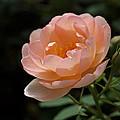 Rose Blush by Rona Black