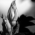 Rose Bud by Bob Orsillo