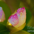 Rose Bud by Cheryl Young