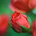 Rosebud  by Kathy Yates