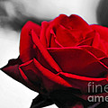 Rosey Red by Kaye Menner