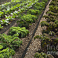 Rows Of Kale by Anne Gilbert