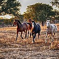 Running Horses by Kristina Deane