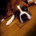 Sad Boxer by Maideline  Sanchez