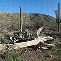 Saguaro Skeleton Saguaro National Park Az  by Brian Lockett