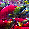 Salmon Run by Wingsdomain Art and Photography