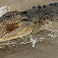 Saltwater Crocodile by Bob Christopher