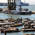 San Francisco Pier 39 Sea Lions 5d26103 by Wingsdomain Art and Photography