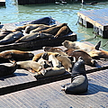 San Francisco Pier 39 Sea Lions 5d26113 by Wingsdomain Art and Photography