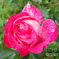 Scented Rose by Ramona Matei