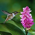 Scintillant Hummingbird Selasphorus by Michael and Patricia Fogden