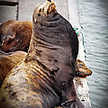 Sea Lion by Robert Bales