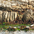 Sea Lions In Monterey Bay by Artist and Photographer Laura Wrede