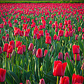 Sea Of Red Tulips by Inge Johnsson