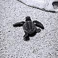 Sea Turtle Print by Sebastian Musial