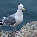 Seagull by Sebastian Musial