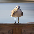 Seagull With An Attitude  Print by Mike McGlothlen
