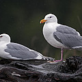 Seagulls Print by Gary Langley