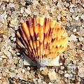Seashell on Sandy Beach Print by Carol Groenen