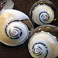 Seashells Spectacular No 23 by Ben and Raisa Gertsberg
