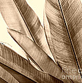 Sepia Leaves by Cheryl Young