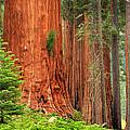 Sequoias by Inge Johnsson