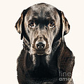 Serious Chocolate Labrador by Justin Paget