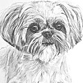 Shih Tzu Portrait In Charcoal by Kate Sumners