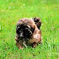 Shih Tzu Puppy by Darren Fisher