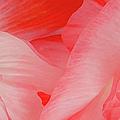Shirley Poppies by Theresa Tahara