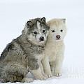 Siberian Husky Puppies by M. Watson
