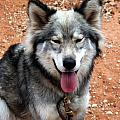 Siberian Husky With Blue And Brown Eyes by Doc Braham