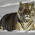 Siberian Tiger at Attention