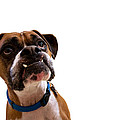 Silly Boxer Dog by Stephanie McDowell