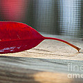 Single Red Leaf by Terry Rowe
