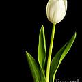 Single White Tulip Over Black Print by Edward Fielding