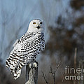 Sitting On The Fence- Snowy Owl Perched by Inspired Nature Photography Fine Art Photography