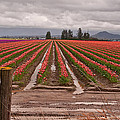 Skagit Valley Tulip Farmlands In Spring Storm by Valerie Garner