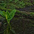 Skunk Weed Cabbage In The Pond by Paul W Sharpe Aka Wizard of Wonders