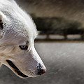 Sled Dog by Bob Orsillo