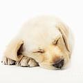 Sleeping Labrador Puppy Print by Johan Swanepoel