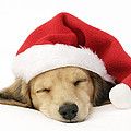 Sleeping Santa Puppy by Greg Cuddiford