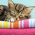 Sleepy Kitten by Greg Cuddiford