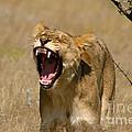 Sleepy Lioness by Alison Kennedy-Benson