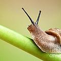 Snail On Green Stem by Johan Swanepoel