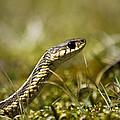 Snake Encounter Close-up by Christina Rollo