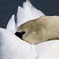 Snoozer - Swan by Travis Truelove