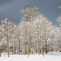Snow Covered Trees In The Forest In Winter by Matthias Hauser
